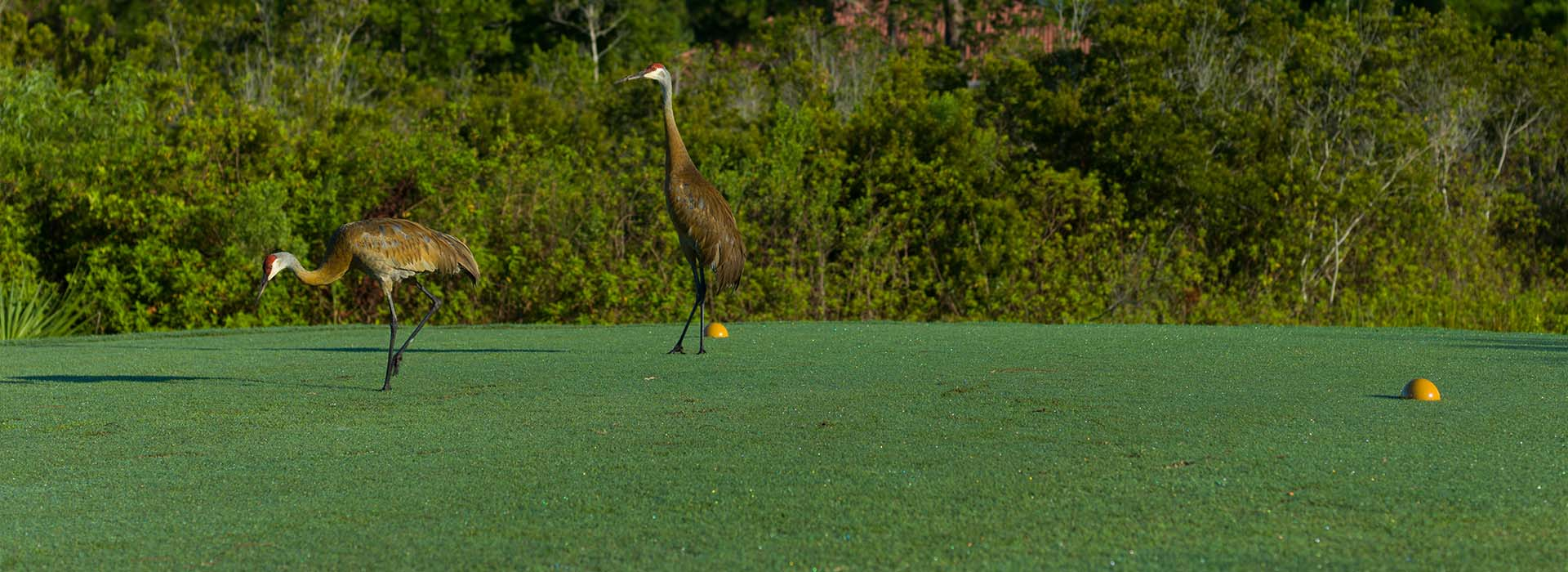A couple of sandhill cranes are spotted on the course at St. Lucie Trail Golf Club in Port St. Lucie